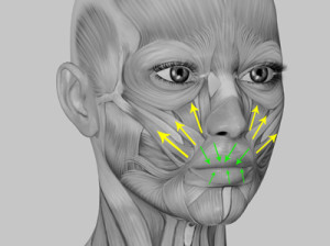 Human Anatomy - Face